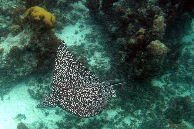 Spotted ray, Turks and Caicos